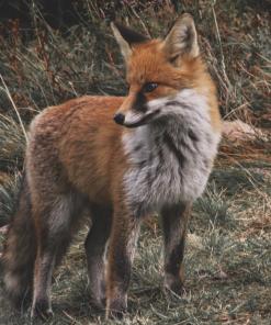 Vangkooien vossen