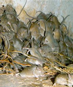 Muizenbestrijding